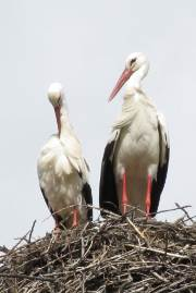 Storks on their nest